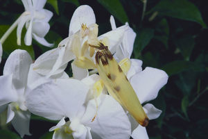 photographer galleries/nature production collection/orchid mantis hymenopus coronatus