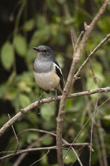 photographer galleries/joe mcdonald/oriental magpie robin copsychus saularis
