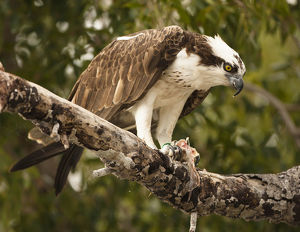 photographer galleries/mary ann mcdonald/osprey pandion haliaetus