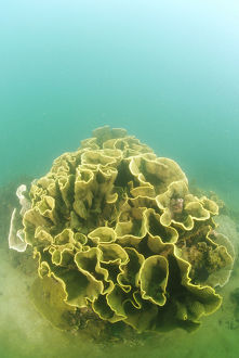 photographer galleries/mark spencer/pagoda coral turbinaria mesenterina