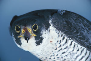photographer galleries/nature production collection/peregrine falcon falco peregrinus