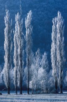 photographer galleries/jean michel labat/peuplier hiver perigord