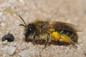 Plasterer bee (Colletes cunicularius)
