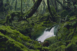 photographer galleries/nature production collection/primary forest shiratani unsuikyo ravine