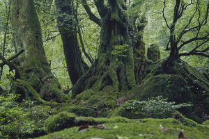 photographer galleries/nature production collection/primeval warm temperate forest