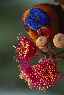 Red-collared lorikeet (Trichoglossus rubritorquis)