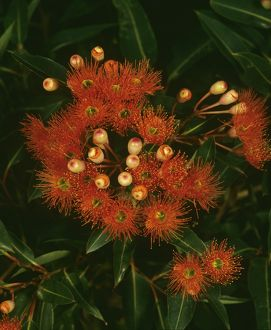 Red flowering gum (Corymbia ficifolia)