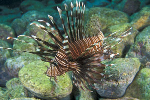 photographer galleries/mark spencer/red lionfish pterois volitans