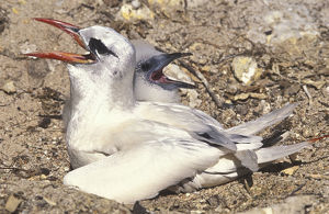 photographer galleries/mark spencer/red tailed tropicbirds phaethon rubricauda