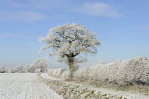 Rime frost covering arable farmland, a track, hedgerow and trees.