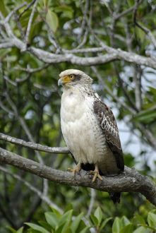 photographer galleries/nature production collection/ryukyu serpent eagle spilornis perplexus