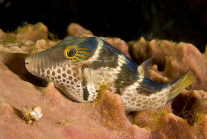 photographer galleries/mark spencer/saddled puffer canthigaster valentini