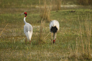photographer galleries/mary ann mcdonald/sarus crane grus antigone