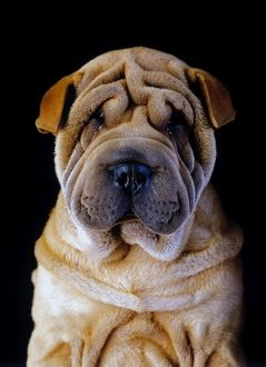 photographer galleries/jean michel labat/sharpei