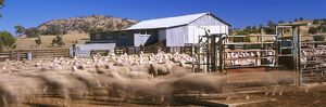 Shearing shed and sheep waiting to be shorn