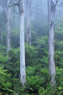 Shining gums in mist (Eucalyptus denticulata)