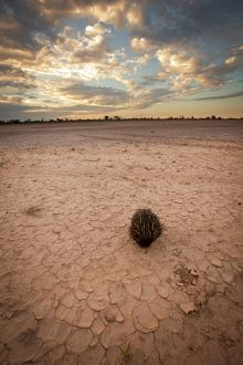 Short-beaked Echidna (Tachyglossus aculeatus) walking across a wide salt pan
