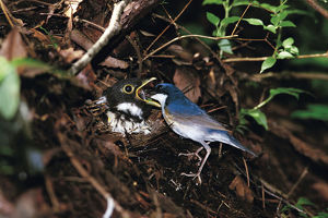 photographer galleries/nature production collection/siberian blue robin larvivora cyane