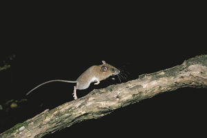 photographer galleries/nature production collection/small japanese field mouse apodemus argenteus