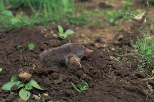 photographer galleries/nature production collection/small japanese mole mogera imaizumii