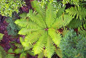 nature design/soft tree fern dicksonia antarctica above tarkine
