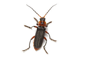Soldier beetle (Cantharis rustica)