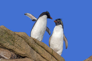 Southern rockhopper penguin (Eudyptes chrysocome chrysocome)