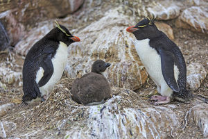 Southern rockhopper penguins (Eudyptes chrysocome)