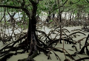 Stilt-rooted mangroves (Rhizophora stylosa)