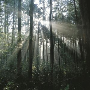 Sunbeams shining forest trees,