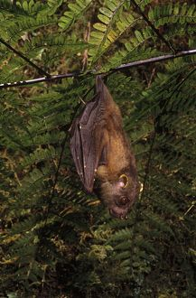 A tube-nosed fruit-bat (Nyctimene sp.)
