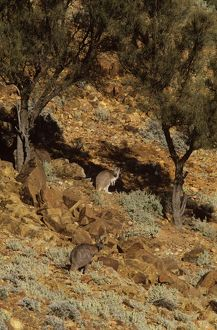Wallaroo or Euro (Macropus robustus erubescens)