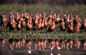 photographer galleries/roger brown/wandering whistling ducks dendrocygna arcuata