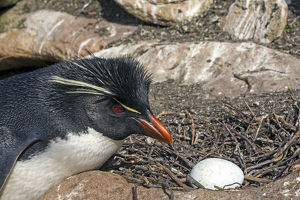 Western rockhopper penguin (Eudyptes chrysocome chrysocome)