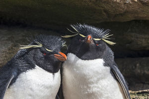 Western rockhopper penguins (Eudyptes chrysocome chrysocome)