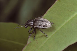 photographer galleries/brett gregory/white fringed weevil naupactus leucoloma