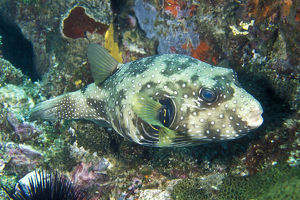 photographer galleries/mark spencer/white spotted puffer arothron hispidus