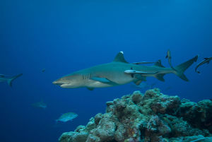 photographer galleries/mark spencer/whitetip reef shark triaenodon obesus