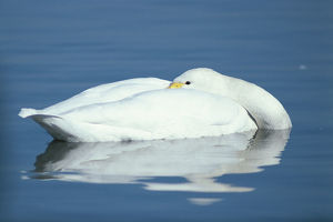 photographer galleries/nature production collection/whooper swan cygnus cygnus