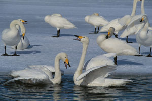 photographer galleries/nature production collection/whooper swans cygnus cygnus