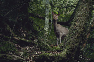 photographer galleries/nature production collection/yaku sika deer cervus nippon yakushimae