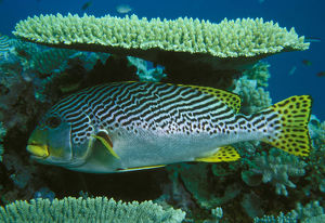 photographer galleries/mark spencer/yellow banded sweetlips plectorhinchus lineatus