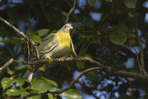 Yellow-footed green-pigeon (Treron phoenicoptera)