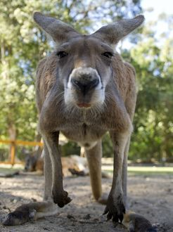 animals/kangaroo