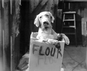 Cute dog in flour box