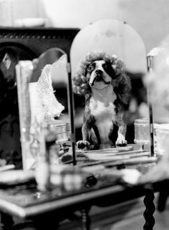 Dog doing tricks - dressed up in wig in front of mirror