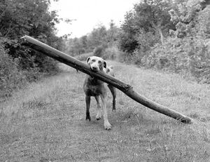 Weimaraner carrying long log through woods