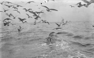A flock of gulls chase for scraps from the herring boats from Scarborough fishing