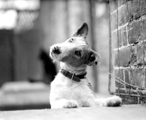 Fox terrier, Jock, looks wistful. 1945
