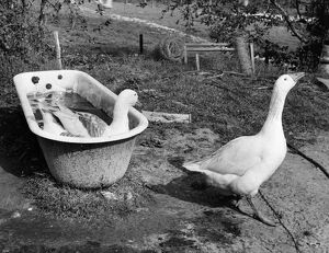 Two Geese have a bath in an old bath tub undated